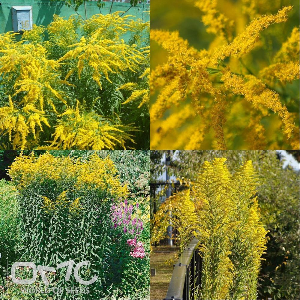 Canada goldenrod solidago canadensis 300 seeds