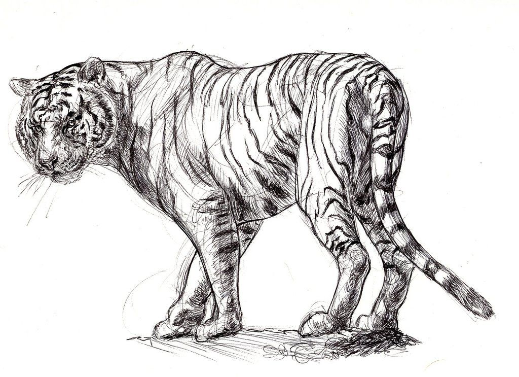 Tigre Sketch: Gallery For White Tiger Drawing Sketch