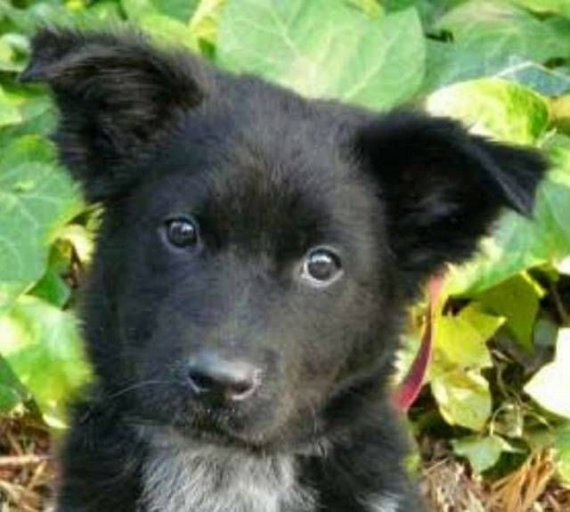 Wanted german sheppard x collie Dogs & Puppies Gumtree