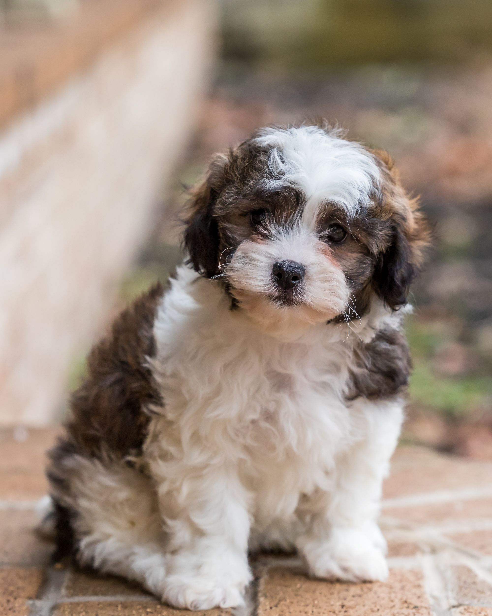 Pin by Berry Marie on Critters in 2020 Shichon puppies