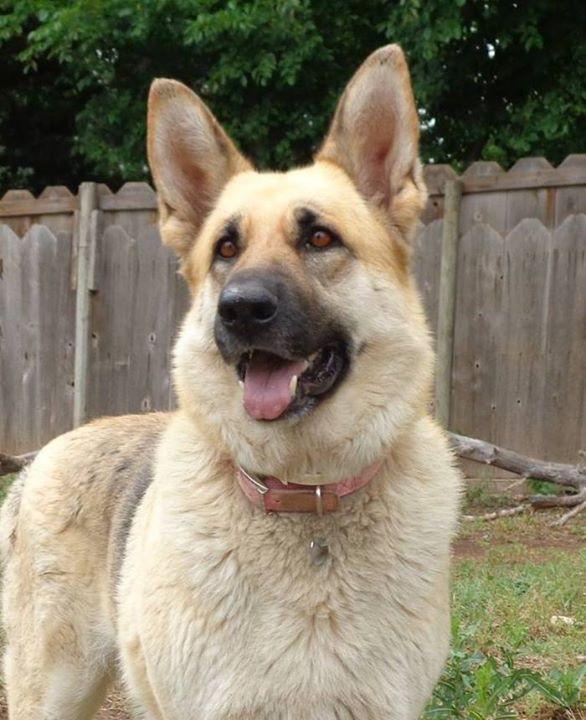 Extra Large German Shepherd Puppies For Sale German Shepard