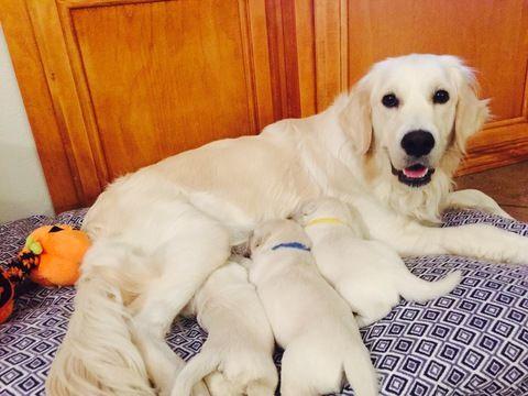 Litter Of 9 Golden Retriever Puppies For Sale In Corona Ca Adn