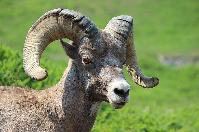 Free Image On Pixabay Big Horn Sheep Ram Animal Mammal