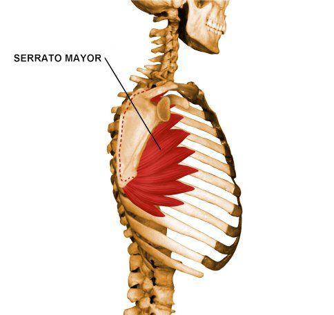 Cintura Escapular. Musculo Serrato Mayor   Anatomía 2 - Cintura ...