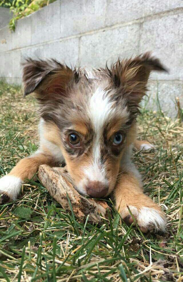 Maisy With A Stick Mini Australian Shepherd Puppy Red Merle Blue Eye Brown Eye Australian Shepherd Working Dogs Dogs