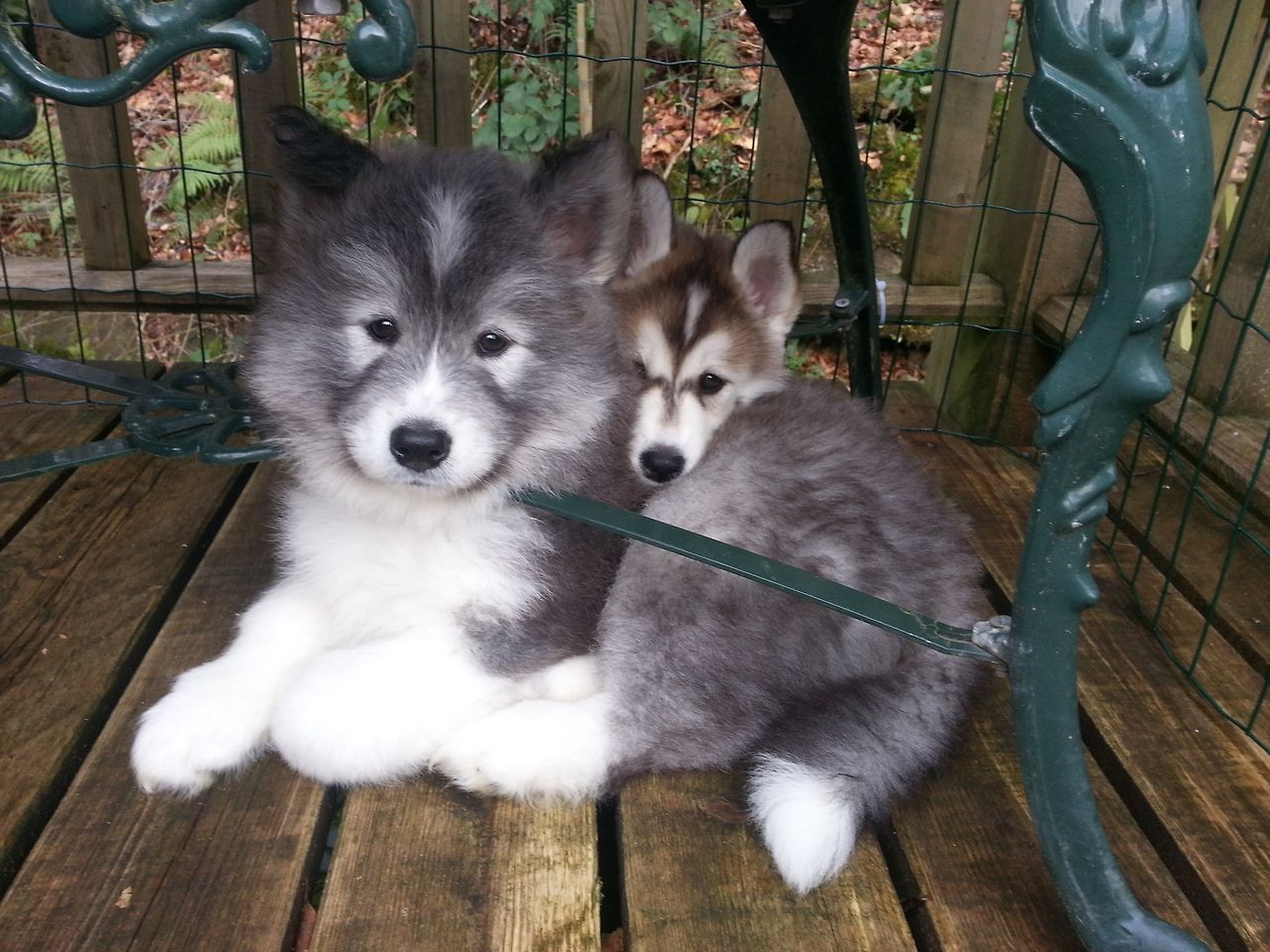 A Husky Samoyed Mix Puppy Hypoallergenic Dog Breed Cute
