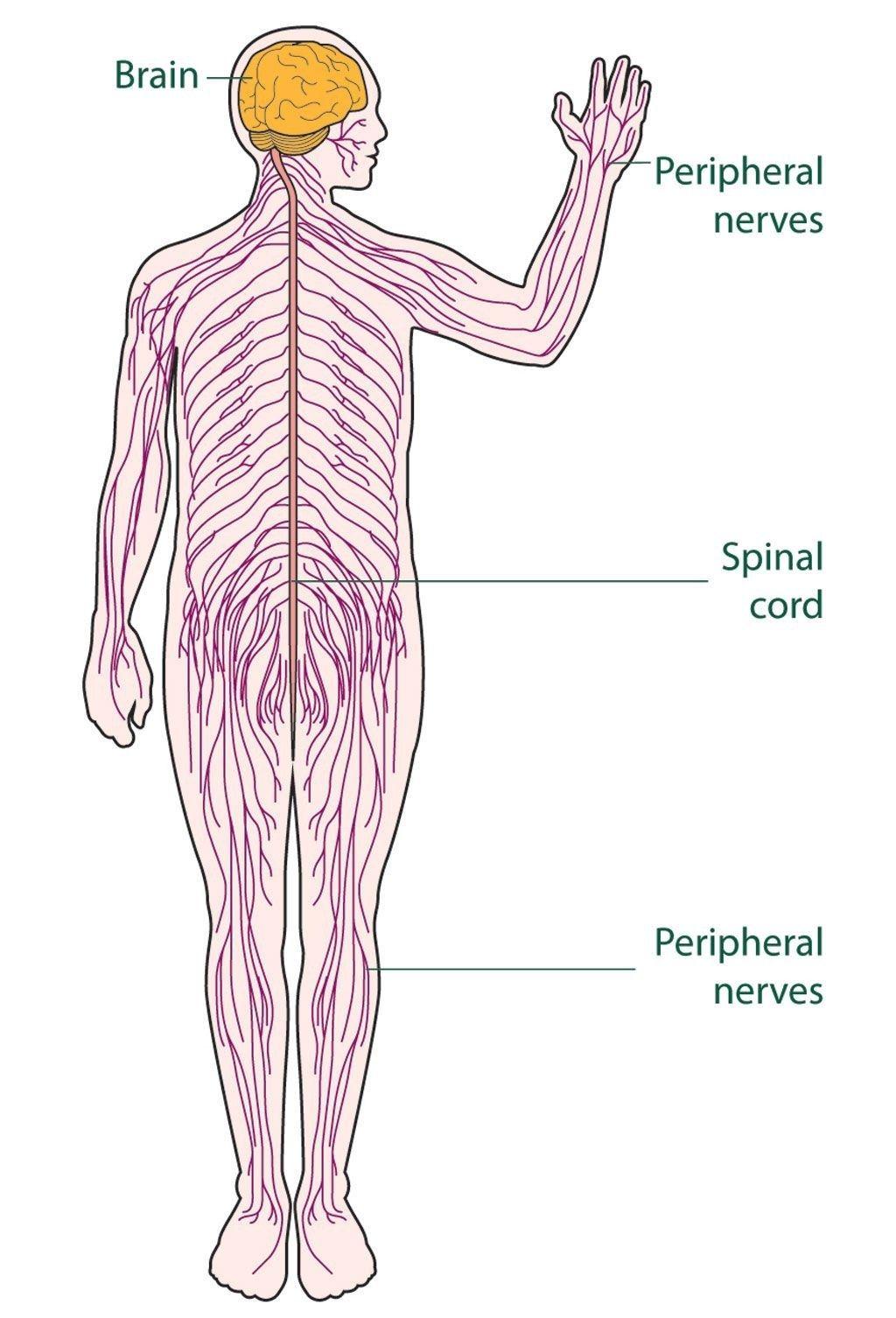 label nerve diagram wiring diagram ebook rh c10 canskenderov de nervous system diagram labeled brain