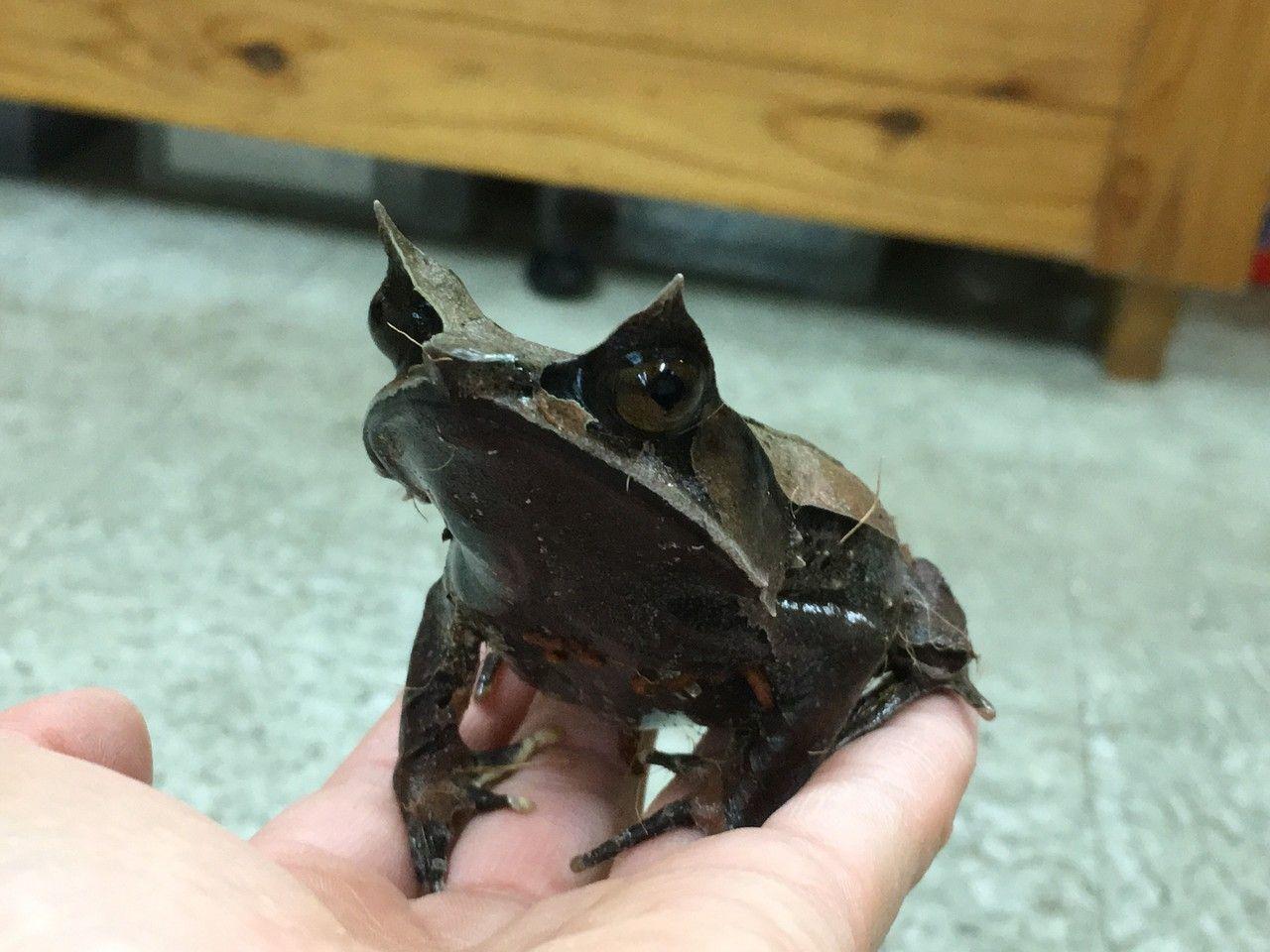 コノハガエル アジアツノガエル 体長 10cm 分布 東南アジア ツノガエル イモリ カエル