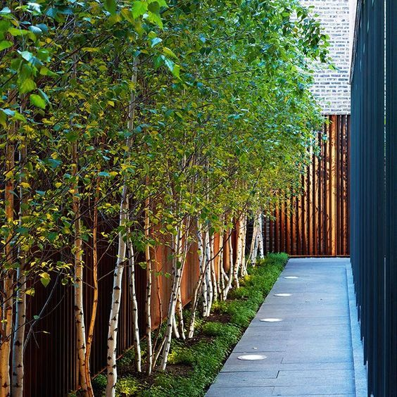use a row of white bark birch trees along a fence line to give additional privacy
