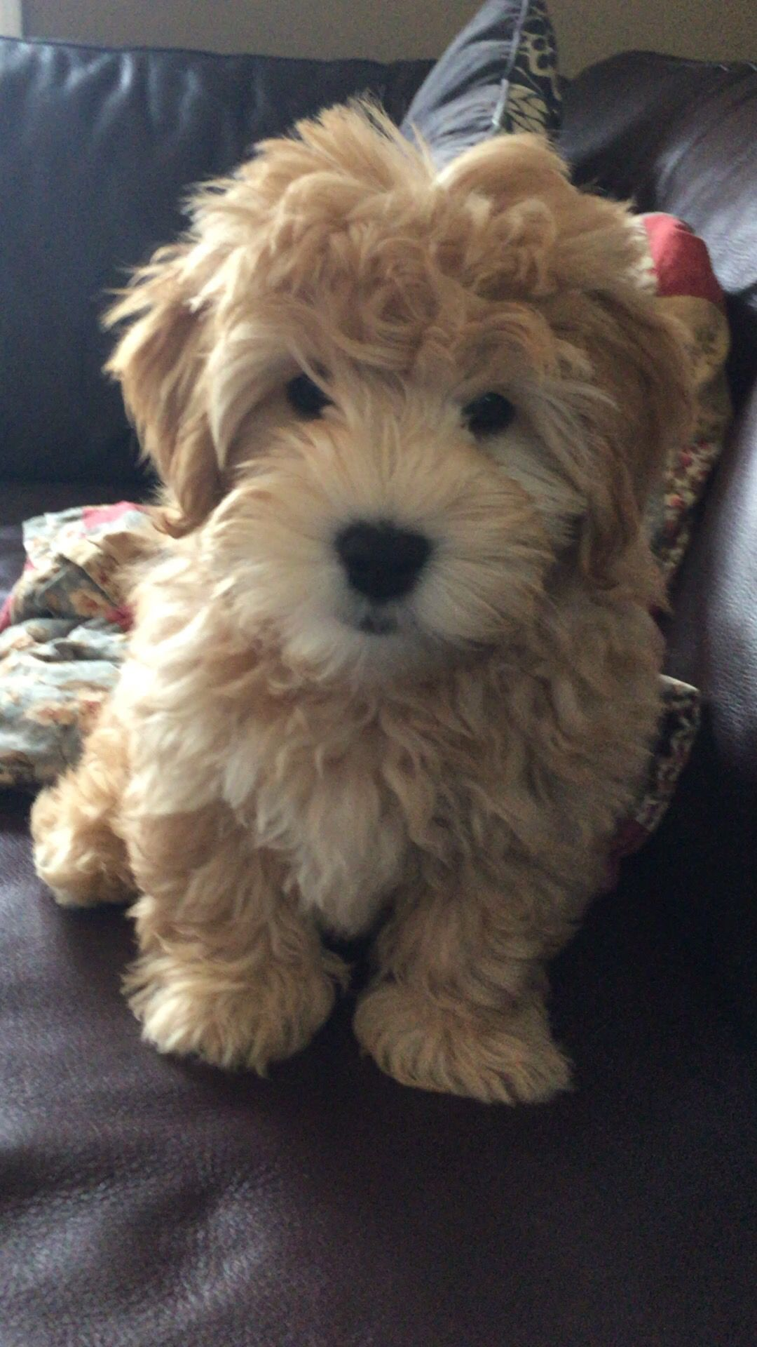 Charlie is a 3 month old Mini Whoodle (Wheaten Terrier