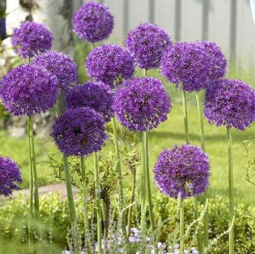 Allium Purple Sensation Tuinbloemen Tuin Tuinplanten