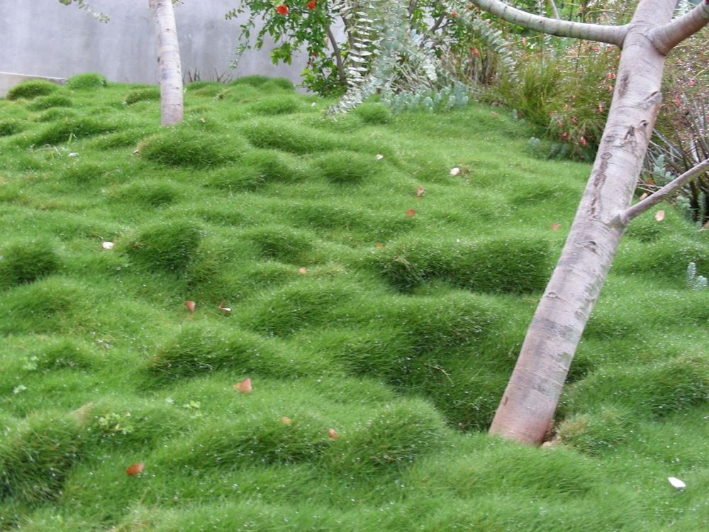 Eco lawn garden pinterest lawn gardens and for Drought resistant grass crossword clue