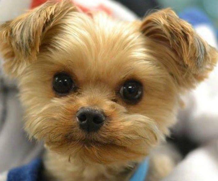 Beautiful Terrier Bow Adorable Dog - 627714b8a1f134b2696da91c6fbe7b21  Best Photo Reference_77574  .jpg