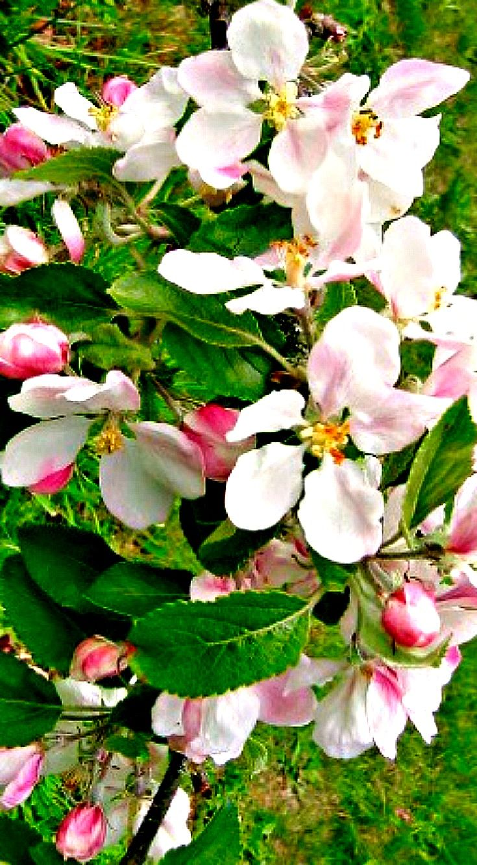 List of fruit tree nurseries york apple blossom shown orchard