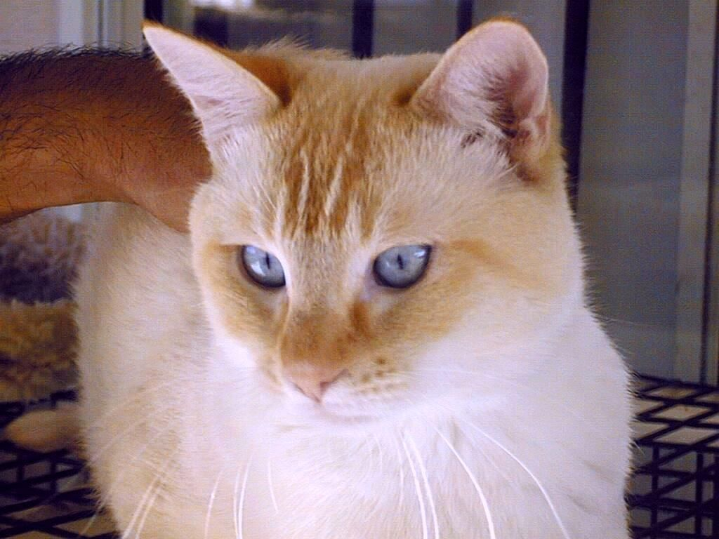 Pics For > Red Point Siamese Cat