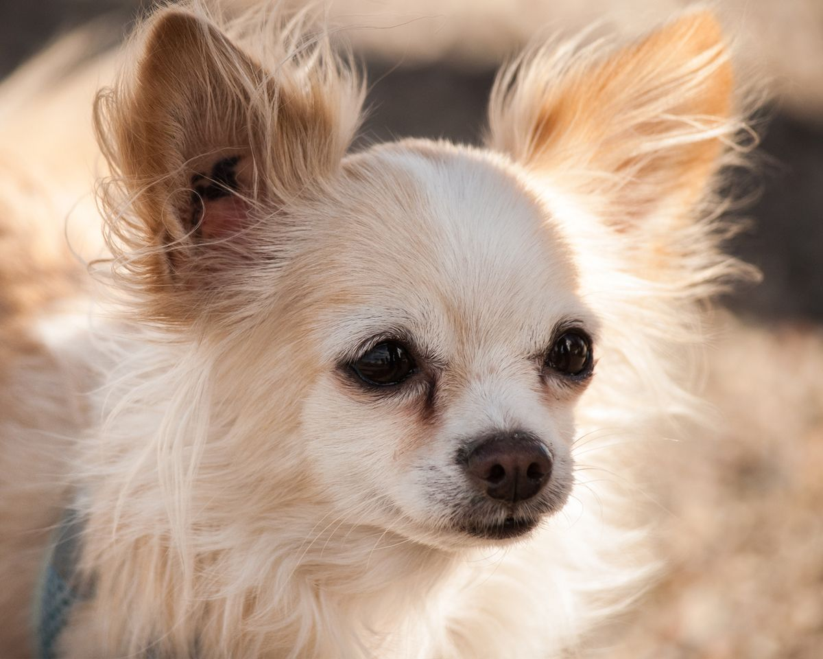Long Haired Chihuahua Justine Olivia Photography Tucson Arizona