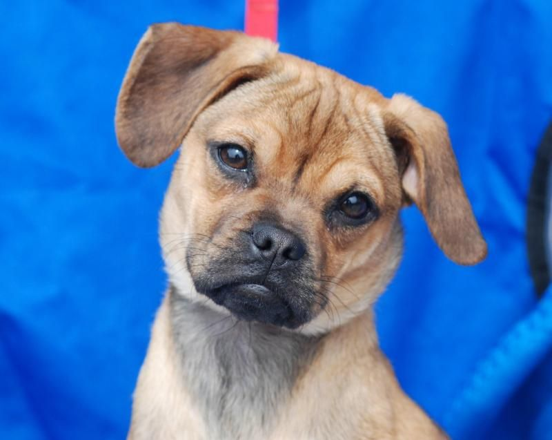 Adorable Contessa Is A 5 Month Old Puggle Boxer Mix Full Grown