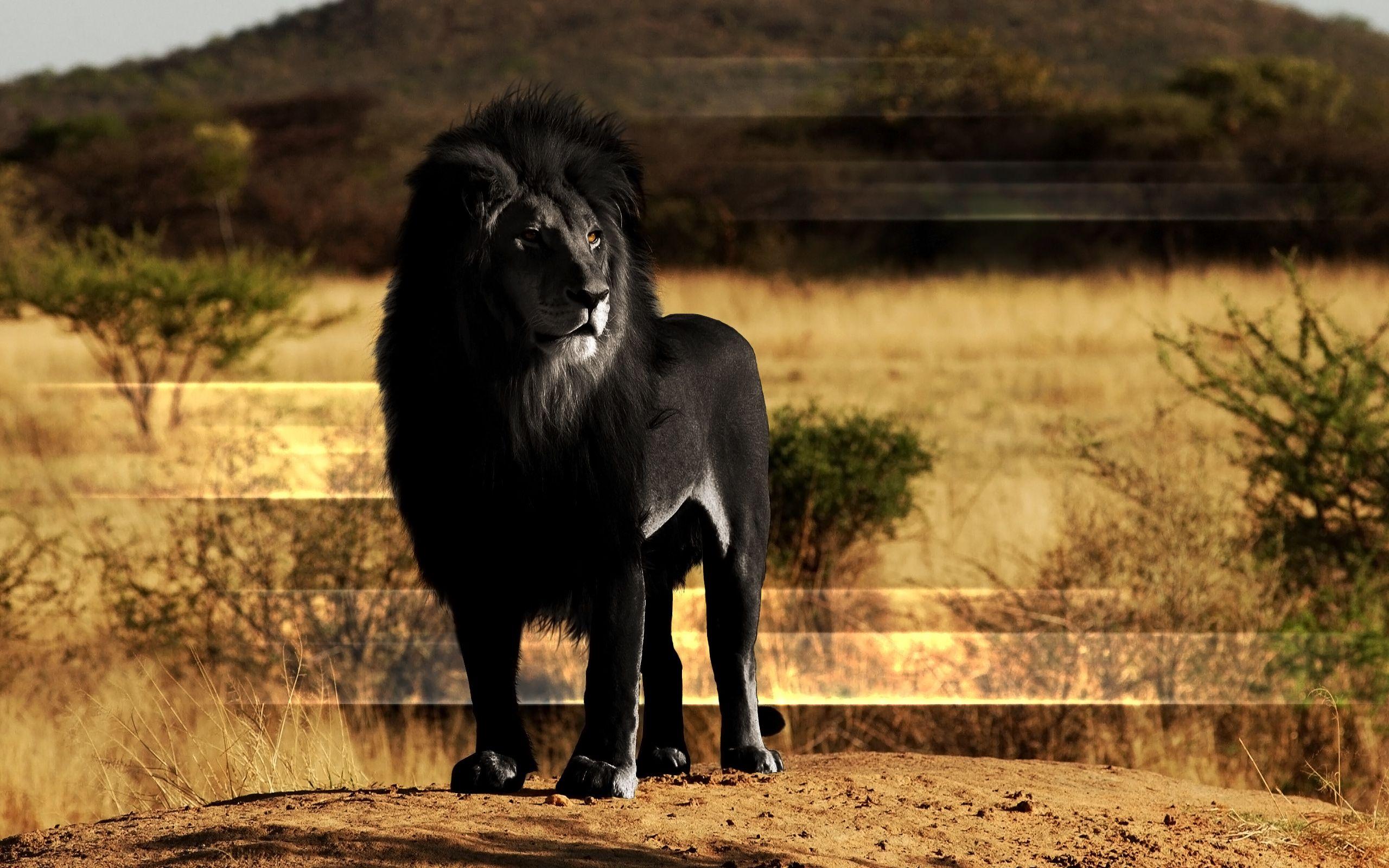 Lion Solo Highres Black Hair Standing Nose Wallpaper Melanistic Animals Albino Animals Black Lion