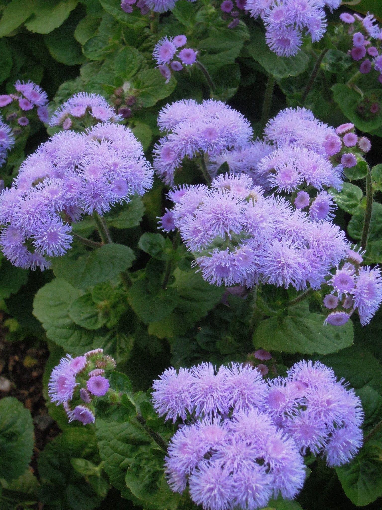 Pasmaslill Ageratum Houstonianum Plants That Attract Butterflies Bloom Amazing Flowers