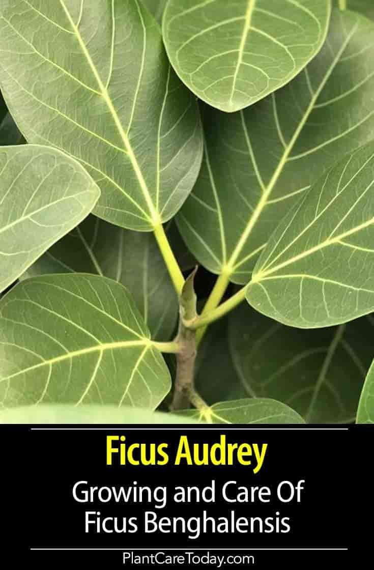 Ficus audrey care caring for audrey ficus benghalensis