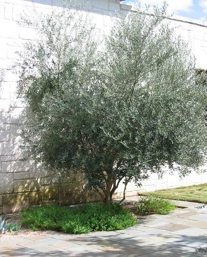 Swan Hill Fruitless Olive Tree As Centerpiece For Yard Backyard Olive Trees Landscape Landscaping Trees Trees For Front Yard