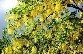 Bildresultat för caragana arborescens pendula