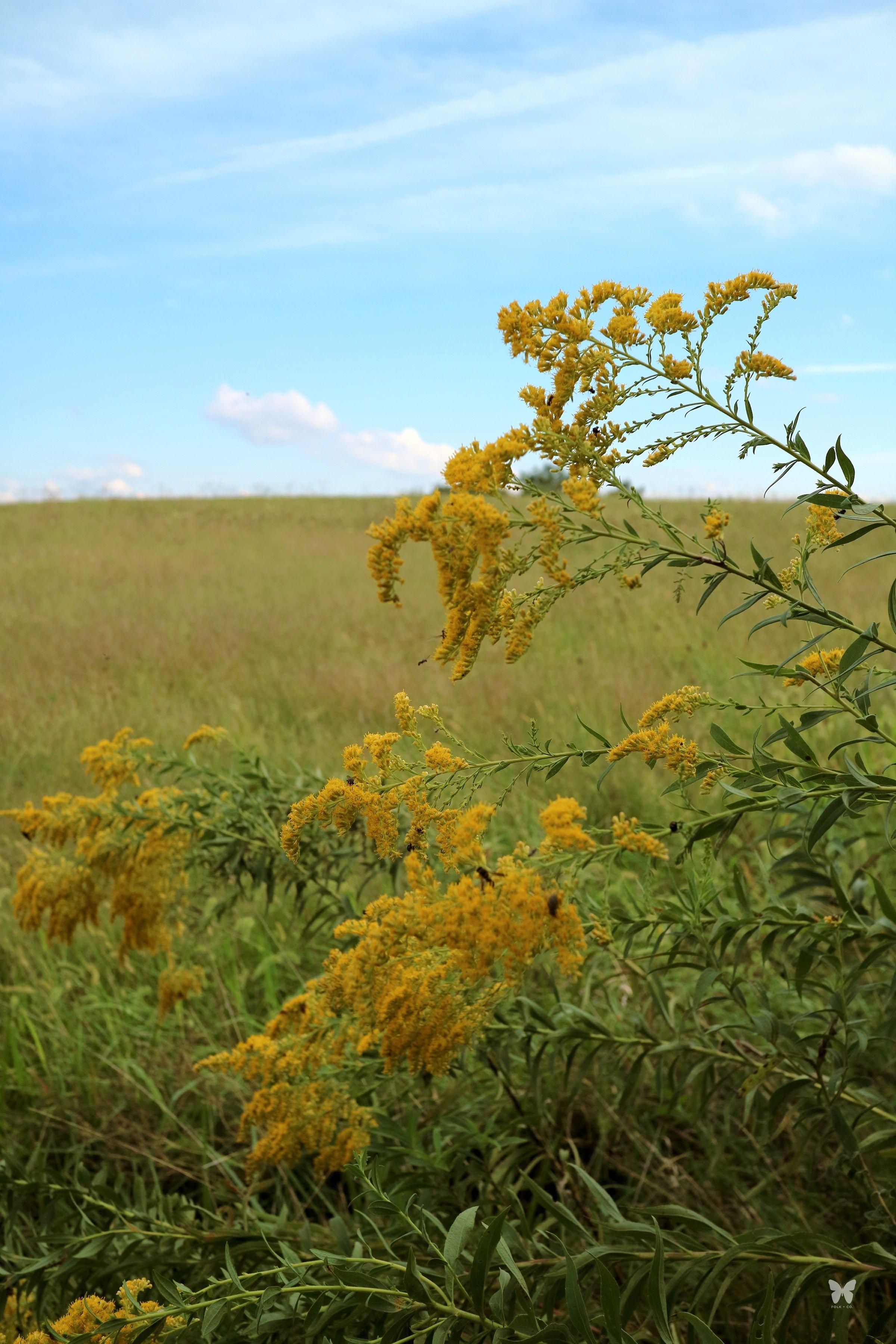 10 Uses For Goldenrod Super Helpful Info Plant Life Goldenrod Wild Plants