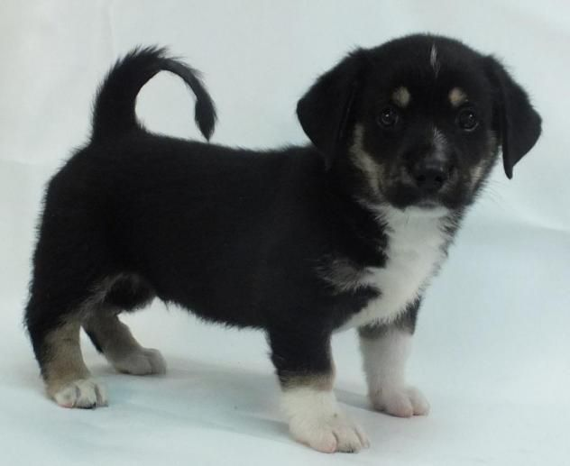 Adopt Quincy On Siberian Husky Dog Dogs Corgi Mix