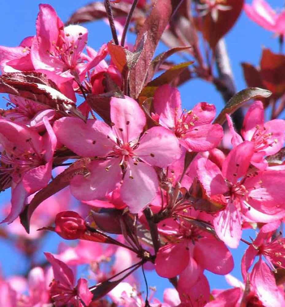 Royal Raindrops Crabapple Multistem Bright Pinkish Red Spring Blooms And Deep Purple Foliage Sets This Crabapple Apart Attractive Red Fruit And Outstanding