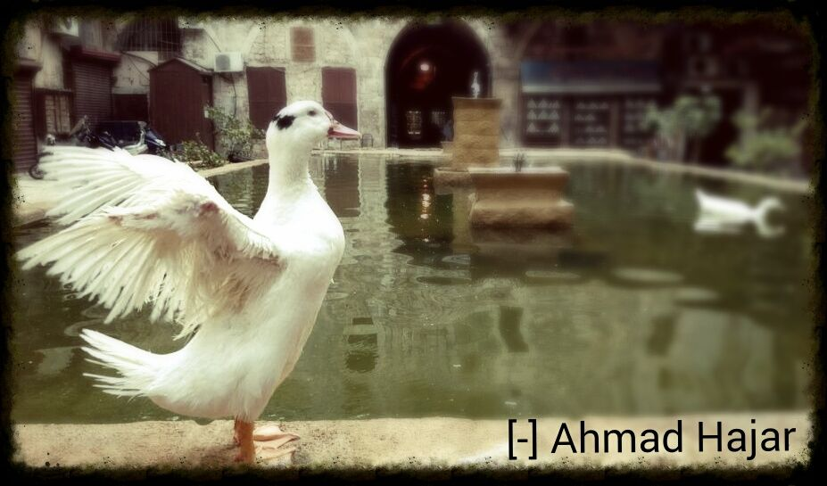 Pin By Ahmad Hajar On طيور Animals Release Dove Doves