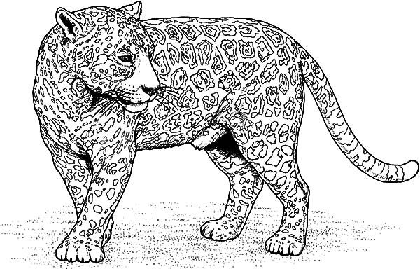 Pin By Lindsey Hepburn On Coloring Pages Jaguar Pictures Coloring Pages Coloring Pictures