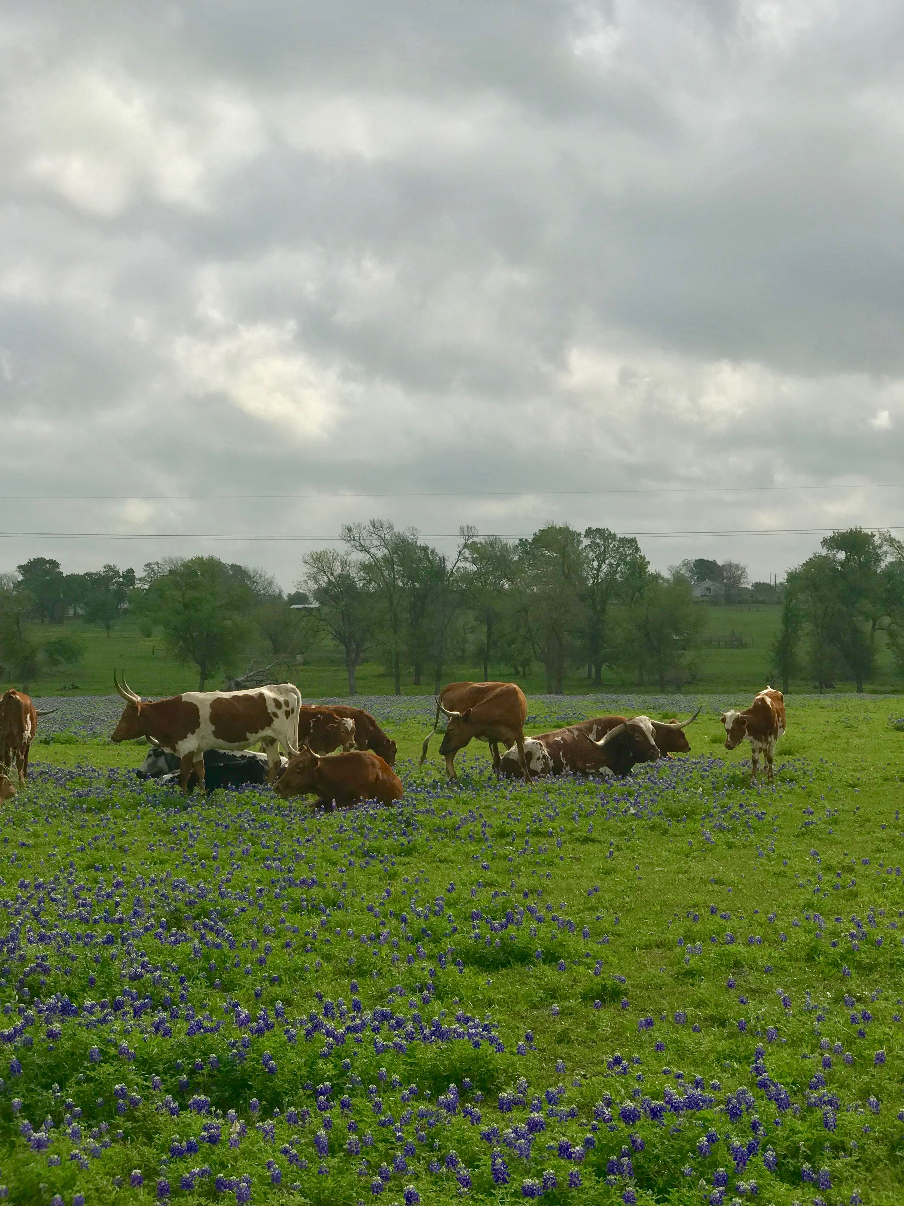 Pin by Angie Esquivel on Texas Animals, Cow, Texas