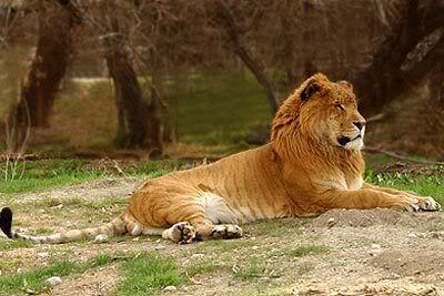 Melanistic Liger Rare Cats Animals Big Cats