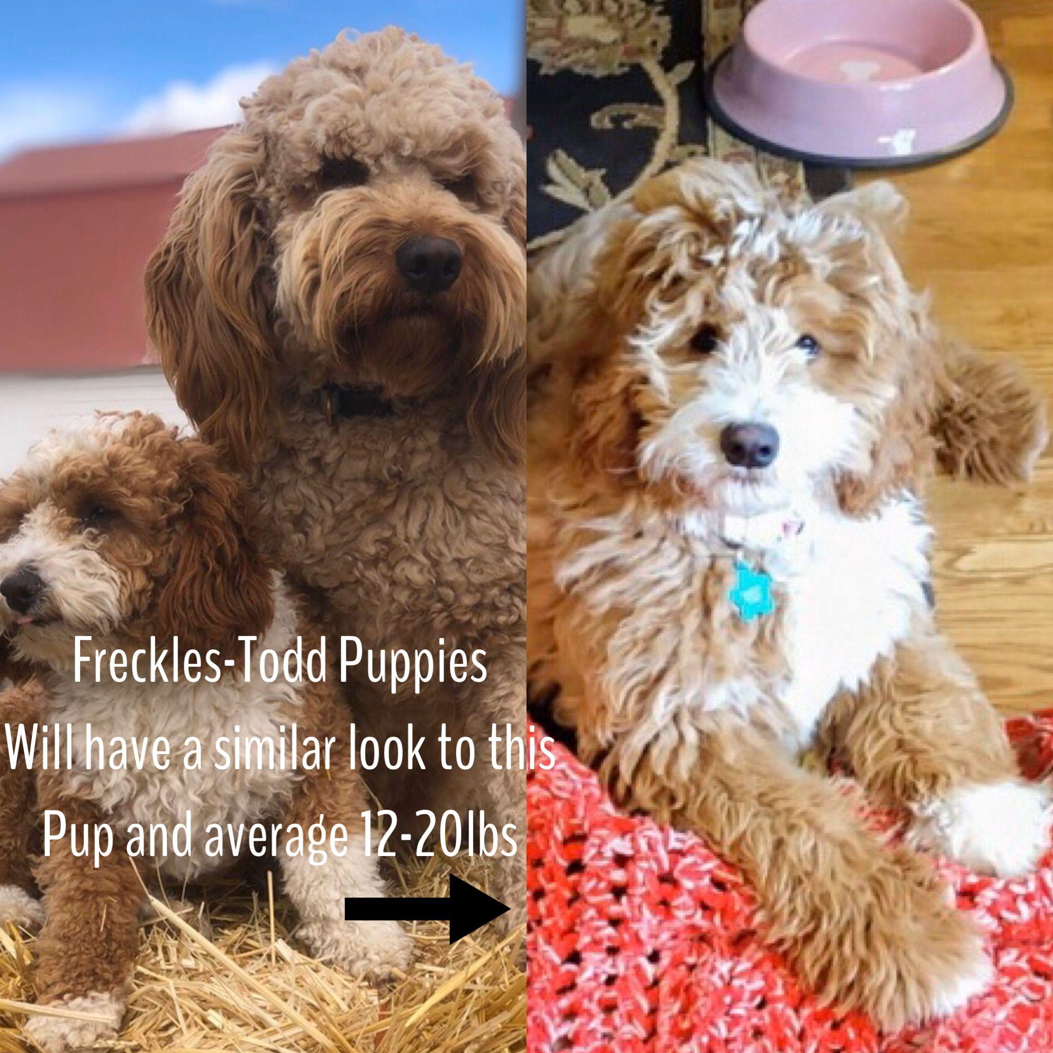 F1b Mini Goldendoodles in 2020 Puppy snuggles, Mini