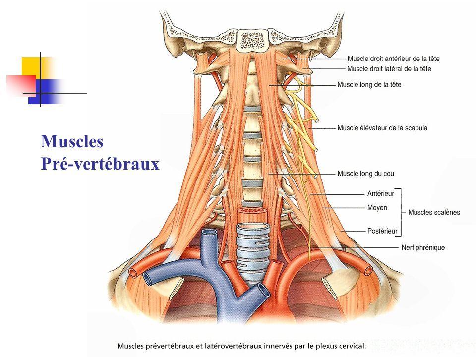 Muscles pré vertébraux: muscles de la région du cou. Actions ...