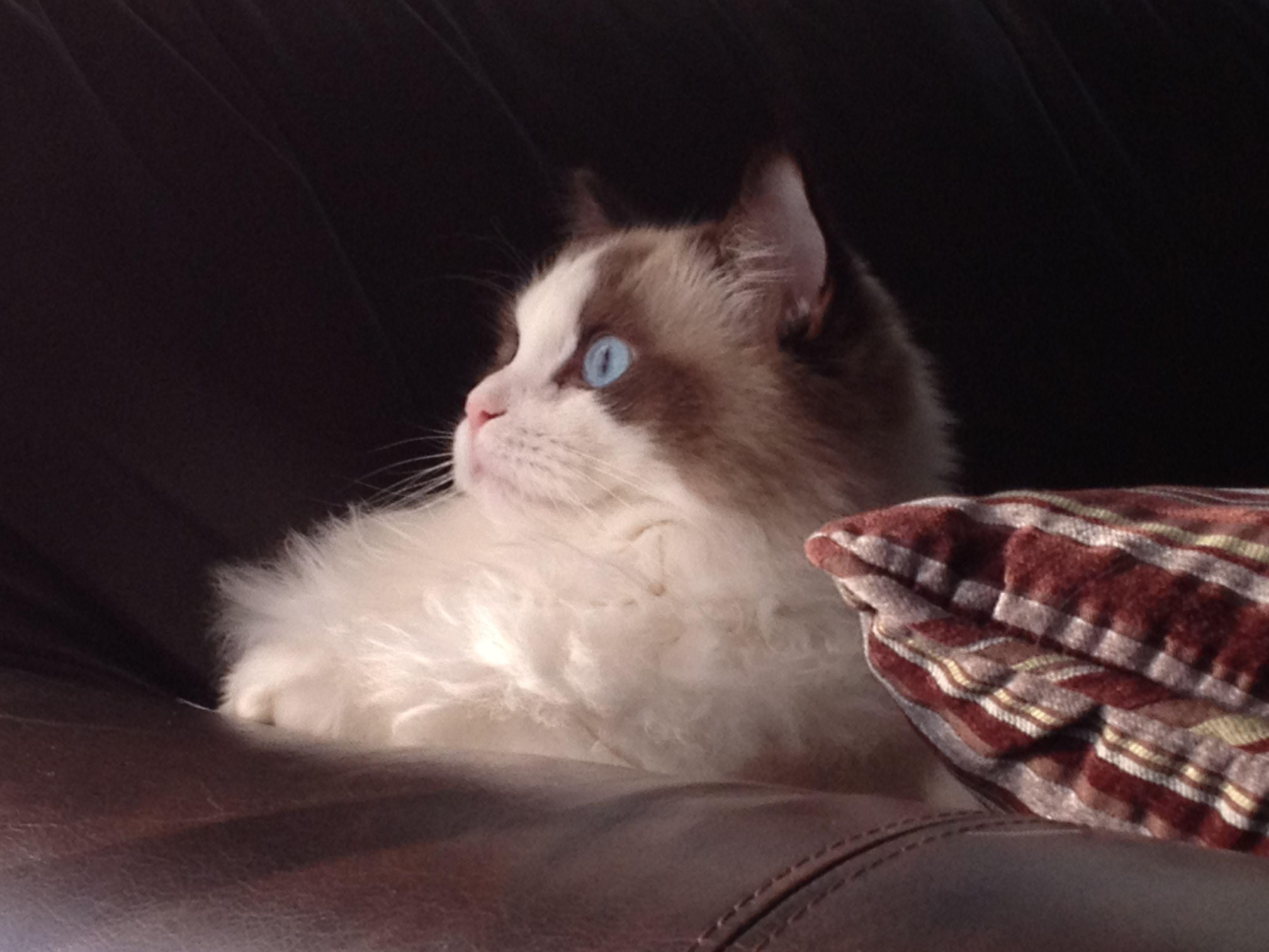 My Ragdoll Cat Enzo 8 Months Blue Gem Rag Dolls Ragdoll Cat Kitten With Images