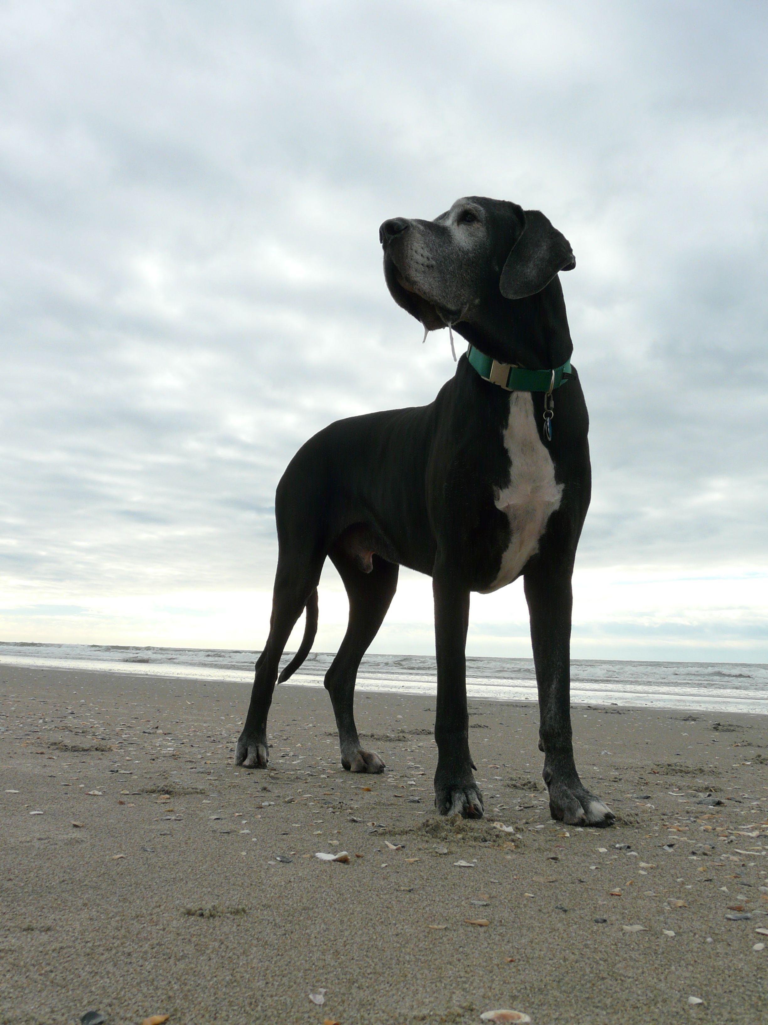 Appa Great Dane Beach Great Dane Rescue Great Dane Dogs