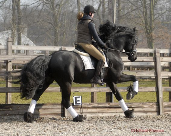Tsjerk 11 yr Z2 level Sport stallion  1.61 m, wellt rained Z2 dressage SPORT Tsjerk x Nammen star stallion.    Bente Fan Meren State 's Daddy!