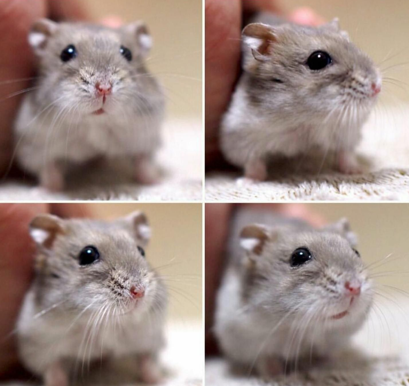 Happy Little Hamster X Post From R Hamster