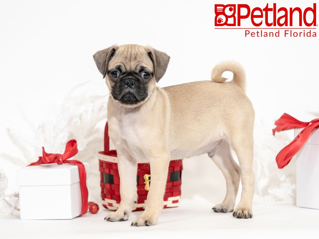 Petland Florida Has Pug Puppies For Sale Check Out All Our Available Puppies Pug Petlandkendall Petland Puppy Friends Pug Puppies For Sale Pug Puppies