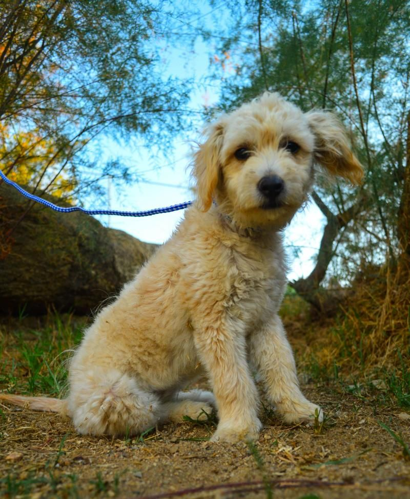 Adopt Mason On Poodle Mix Puppies Pets Lake Forest California