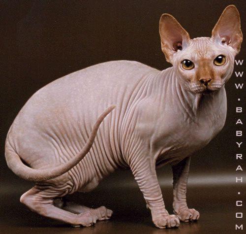 sphynx_cat_pigmalion_babyrah2.jpg (500×475)