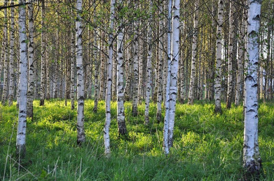 Koivumetsä - koivumetsä metsä koivu vihreä ruoho vehreä puu puut metsämaisema keväinen toukokuu kesä alkukesä vehreä luonto