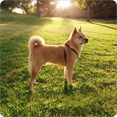 Shiba Inu Ashx 494 494 Dog Breeds Shiba Inu Dogs