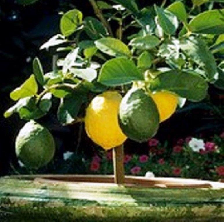 Meyer Lemon Tree Grafted Bonsai Tree Fruit Tree Citrus Etsy Citrus Trees Meyer Lemon Tree Flowering Trees