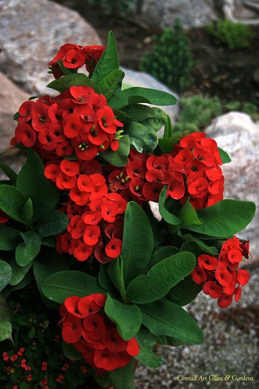 Crown Of Thorns Christ Plant Christ Thorn Euphorbia Milii