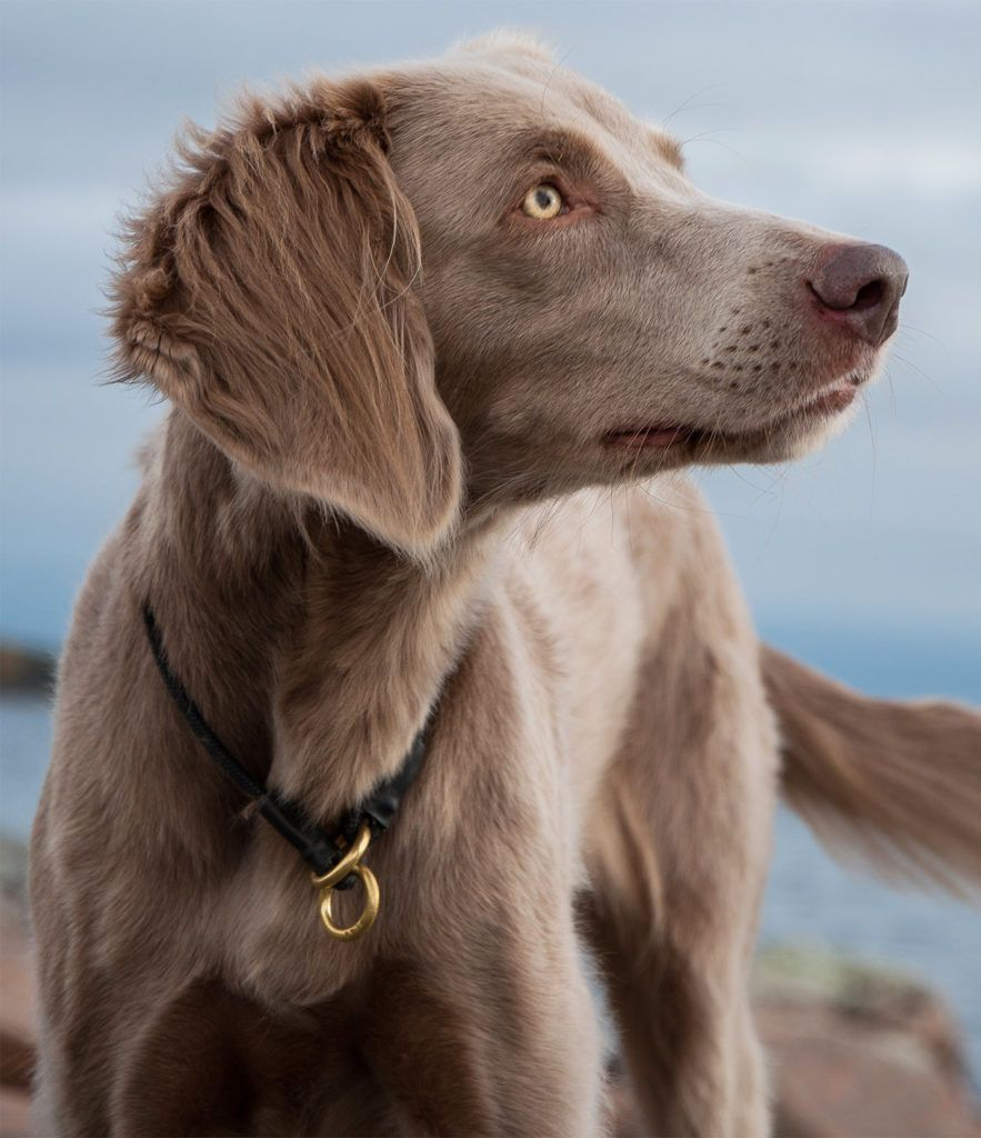 Long haired weimaraner your complete guide to this breed