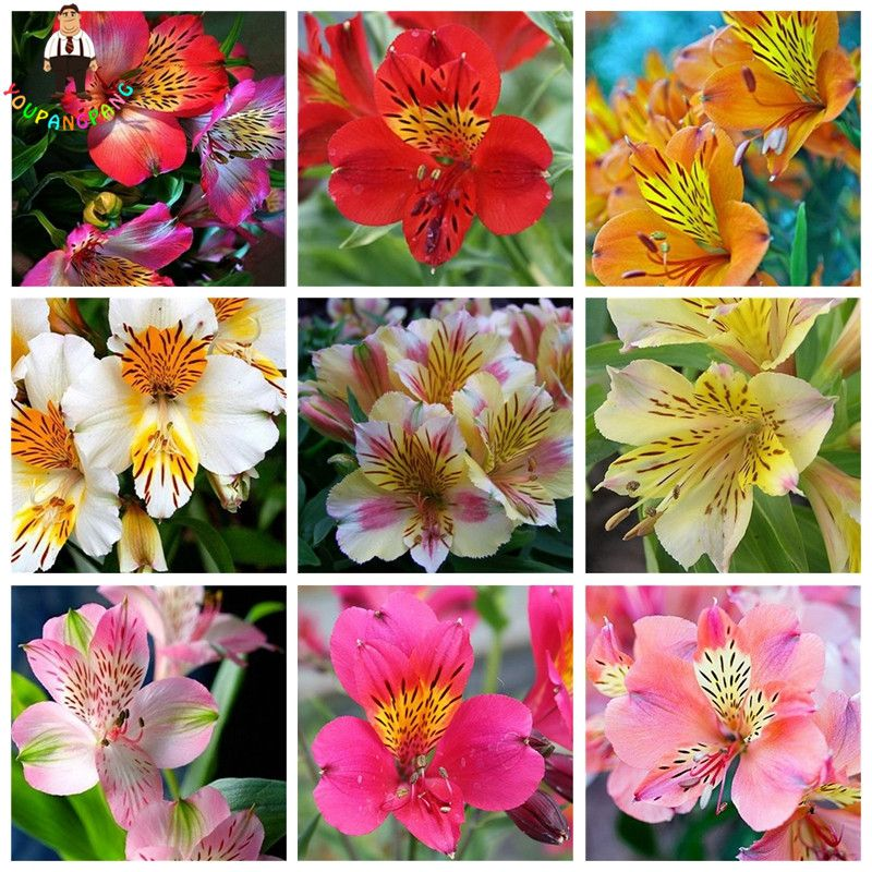 100 Pcs Rare Peruvian Lily Alstroemeria Seeds Mix Color Beautiful Lilies Flower For Home Garden G Alstroemeria Plants Flower Garden Plants Flowers Perennials
