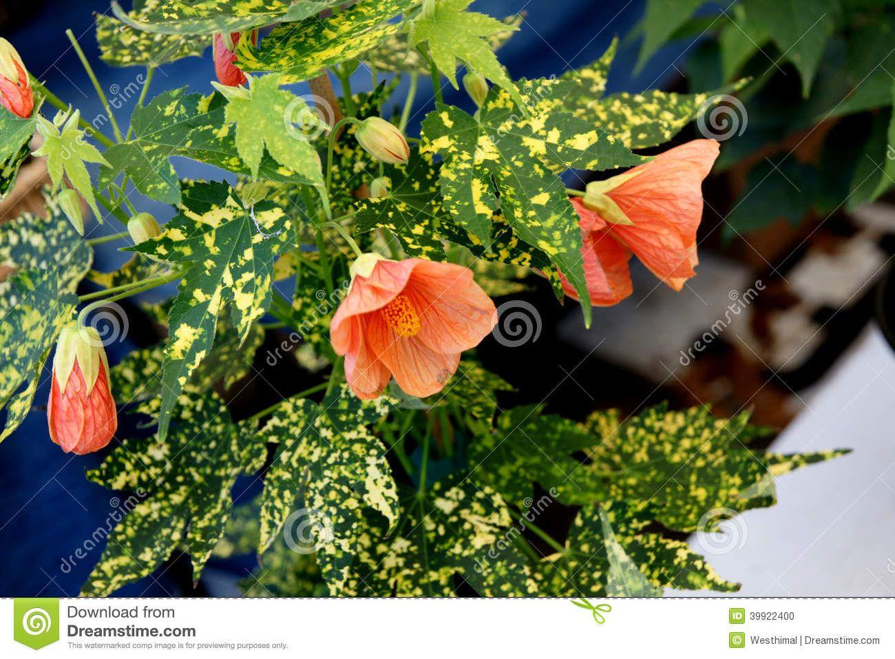 Variegated Flowering Shrubs Variegated Thompson S Flowering Maple