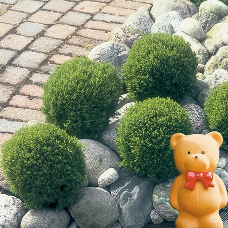 Streichellebensbaum Teddy Immergrune Pflanzen Immergrune